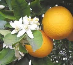苦橙提取物