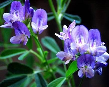 紫花苜蓿提取物2012年美国提单数据