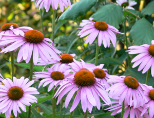 北美紫锥菊