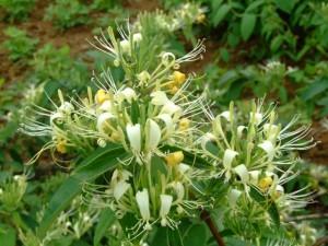 如何种植金银花
