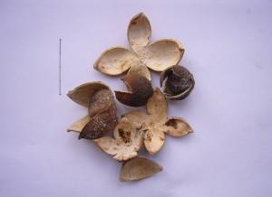 枳壳Citrus aurantium L.