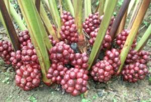 草果Fructus Tsaoko