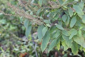 七层塔Herba Salviae Plebeiae