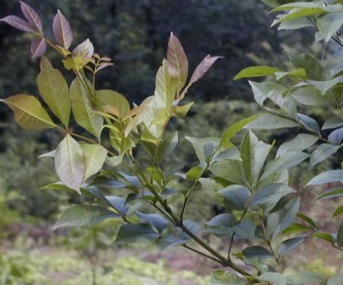 木犀科植物苦枥白蜡树