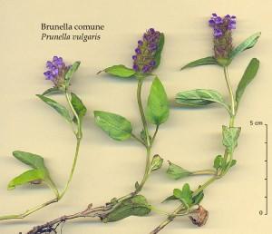夏枯草Prunella vulgaris L.