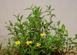 黄花蜜菜(Herba Wedeliae Chinensis)