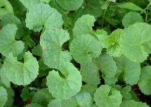 雷公根(Herba Centellae Asiaticae)
