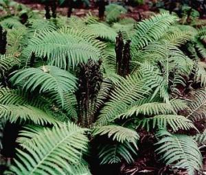 绵马贯众(Rhizoma Dryopteris Crassirhizomatis)