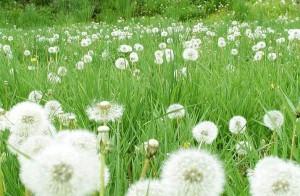 蒲公英(Herba Taraxaci)