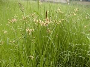 黑三棱(Rhizoma Sparganii)