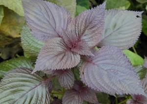 紫苏叶 Folium Perillae