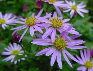 紫苑Radix Asteris