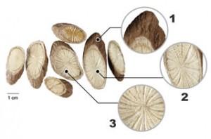 关木通(Caulis Aristolochiae Manshuriensis)
