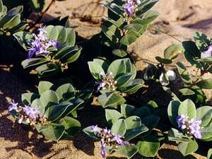 蔓荆子(Fructus Viticis Trifoliae)
