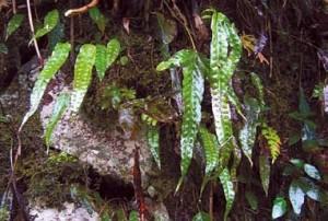鹅掌金星蕨