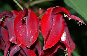 鸡冠刺桐(Ramulus Erythrinae Crista-gallii)
