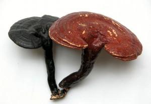 灵芝(Ganodernae Lucidi)