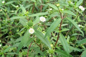 墨旱莲(Herba Ecliptae)