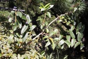 锐叶忍冬(Caulis Lonicerae Acuminatae)