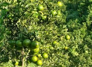 柑橘类黄酮以及类柠檬苦素化合物韵吸收与代谢