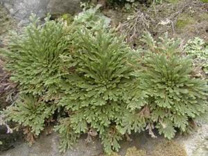 卷柏(Herba Selaginellae)图片