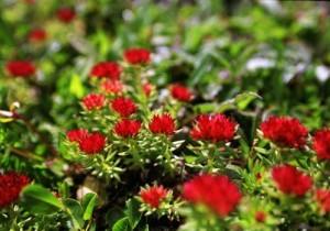 如何种植高山红景天