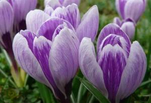 西红花(Saffron)