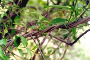 香加皮(Periplocae)