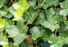 【植提专利】制备贮存稳定的常春藤叶提取物的方法及根据该方法制备的提取物