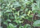 森林匙羹藤酸抑制甜味活性
